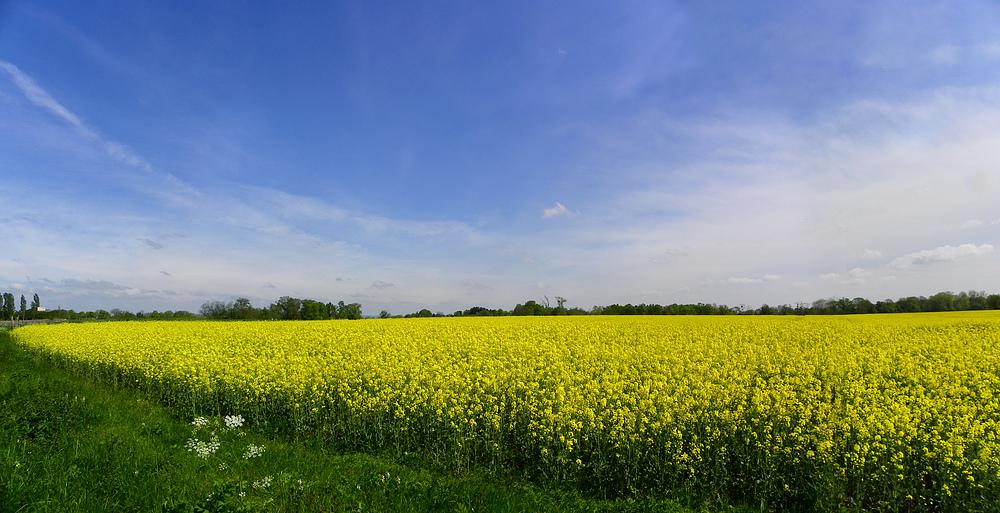 Marée jaune en campagne