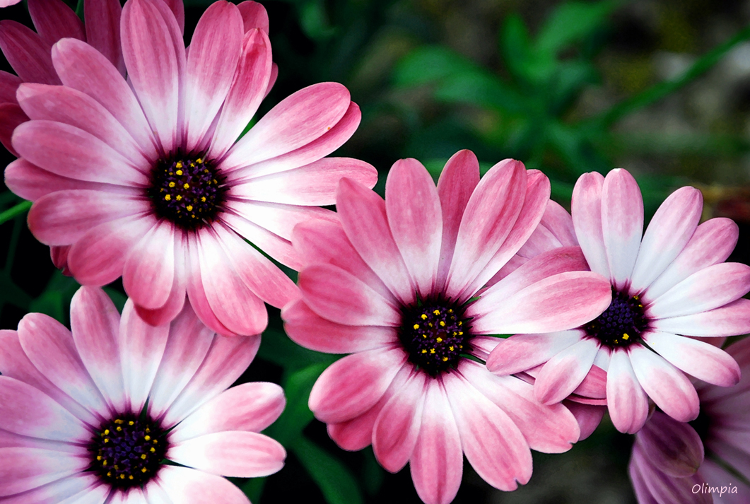 MARGARITAS ROSAS . Imagen & Foto | plantas, flores ...