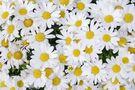 Margariten in voller Blüte von Pit Wilke