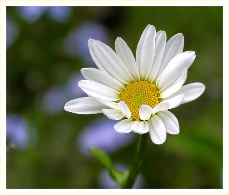 Margaritenblüte