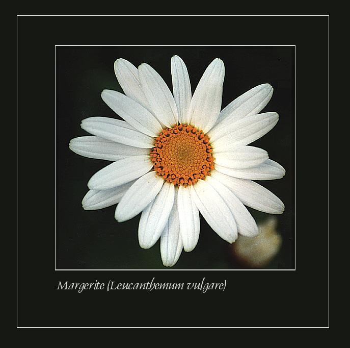 Margerite