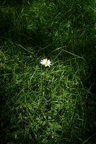 Margerite im Gras