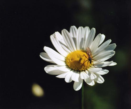 Margeritte mit Insekt