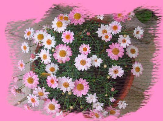 Margherite bianche e rosa