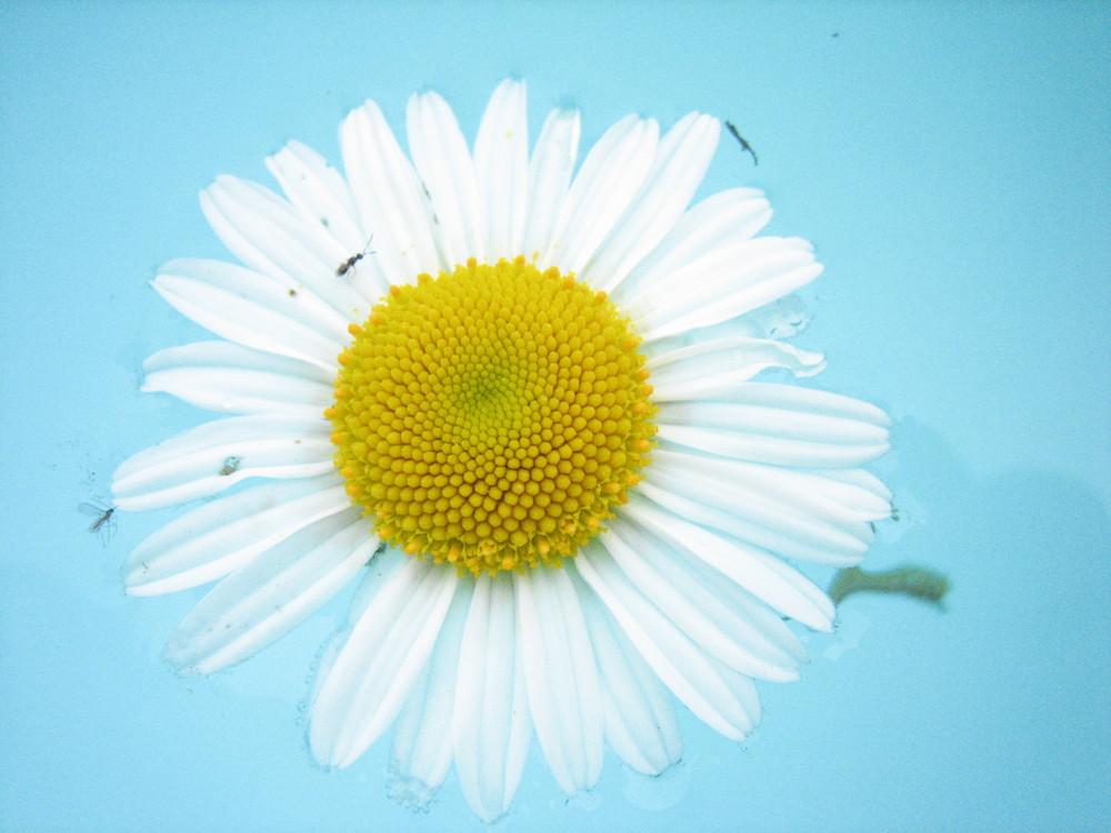 Margheritina bianca