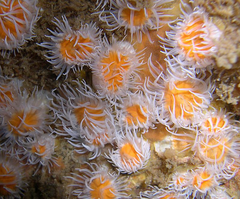 Marguerites de mer