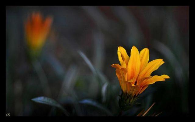 Marguerites jaunes