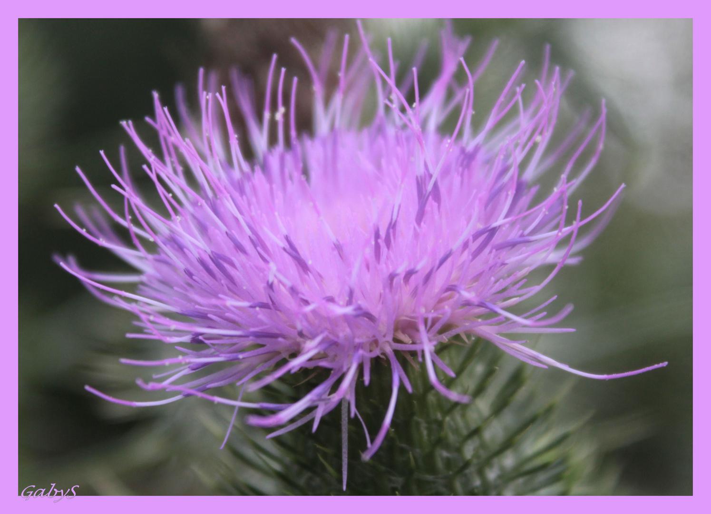 Mariendistel, die 2. ....... die Blüte