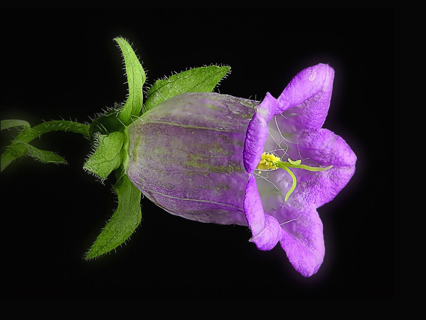 Marienglockenblume - neu bearbeitet