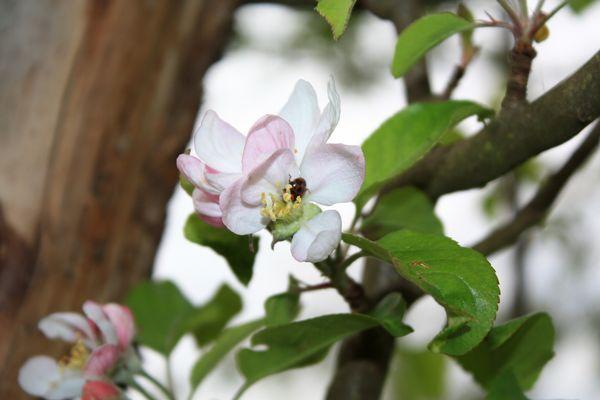 Marienkäfer auf der Apfelblüte.