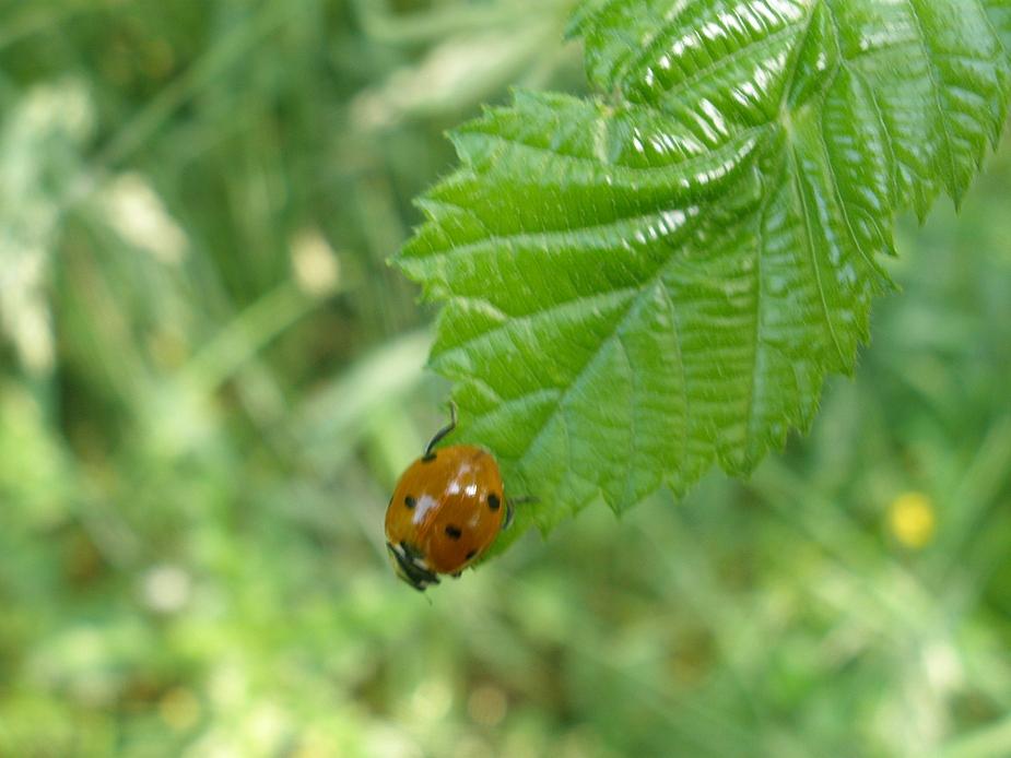 Marienkäfer auf einem Blatt