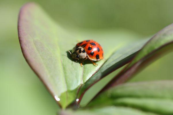 Marienkäfer auf einem Päonienblatt
