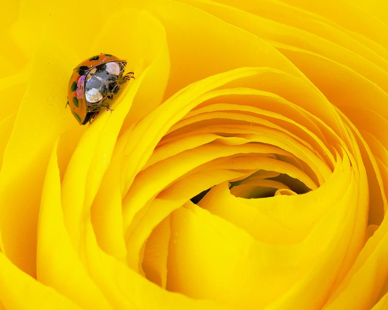 Marienkäfer auf gelber Blüte