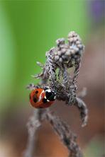 marienkäfer (coccinellidae) - 2013 (3)
