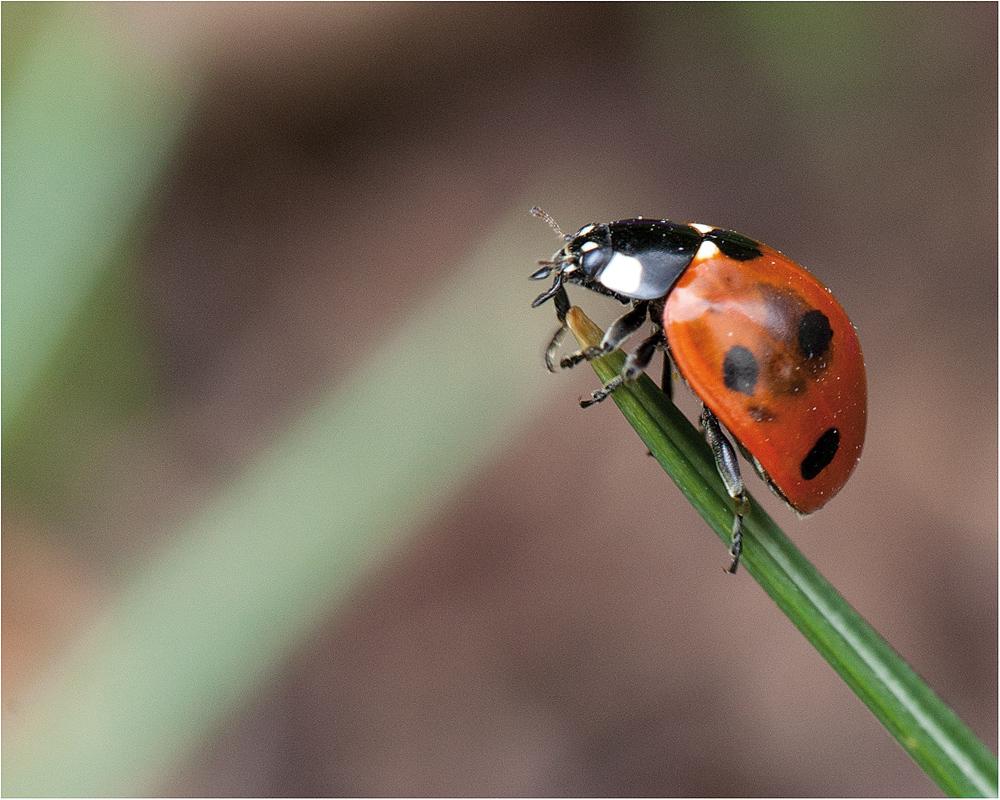 marienkäfer (coccinellidae) - 2013 (4)