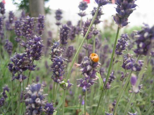 Marienkäfer im Lavendel