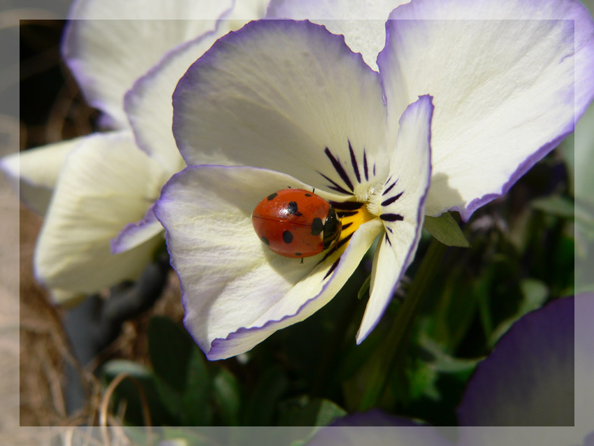 Marienkäfer in einer Blüte