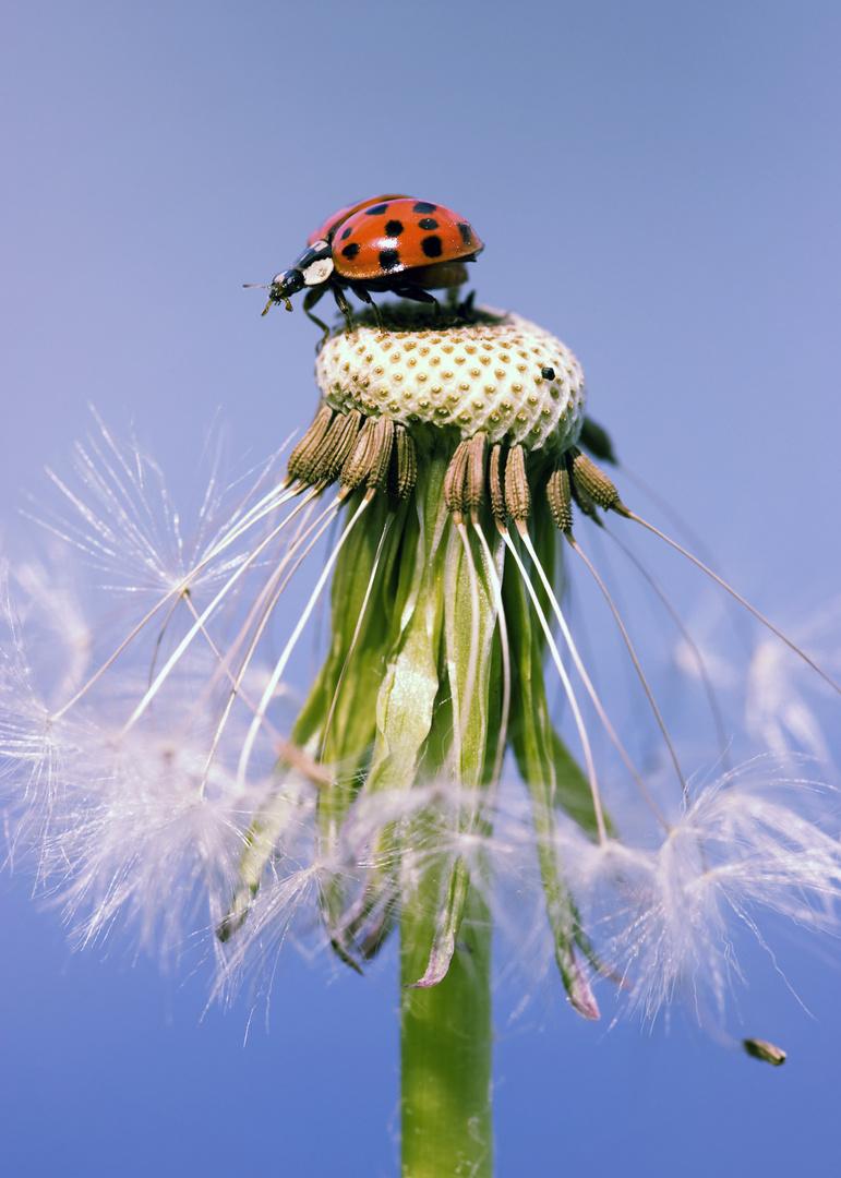 marienk fer pusteblume foto bild tiere wildlife insekten bilder auf fotocommunity. Black Bedroom Furniture Sets. Home Design Ideas