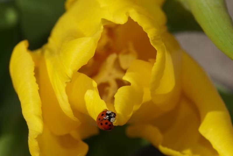 Marienkäferchen auf gelber Tulpe