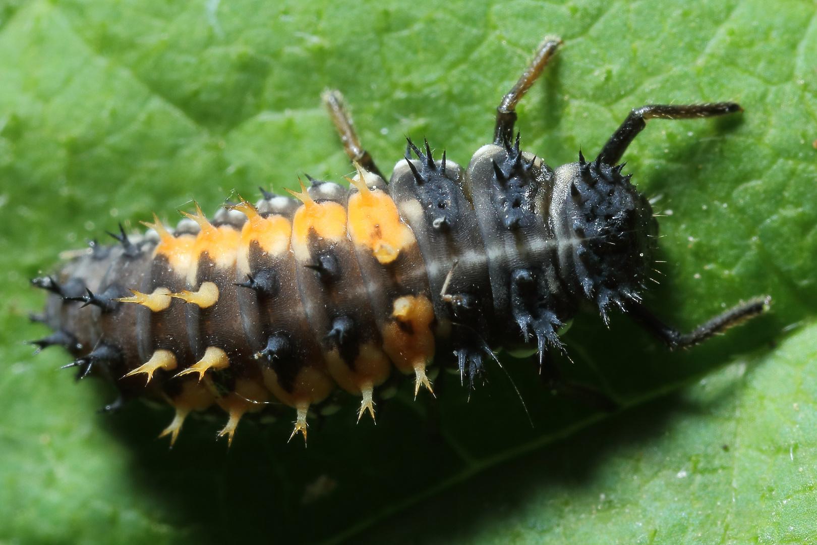 Marienkäferlarve (IV)