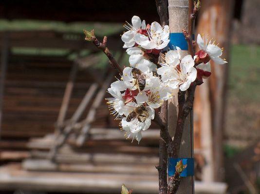 Marillenbaum im Frühling