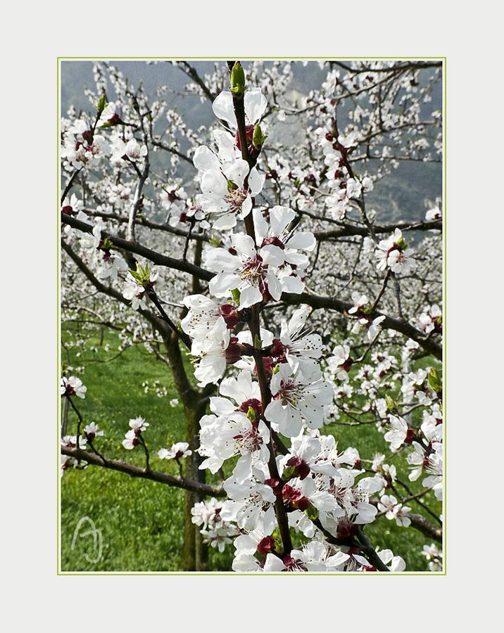 Marillenbaumblüte in der Wachau