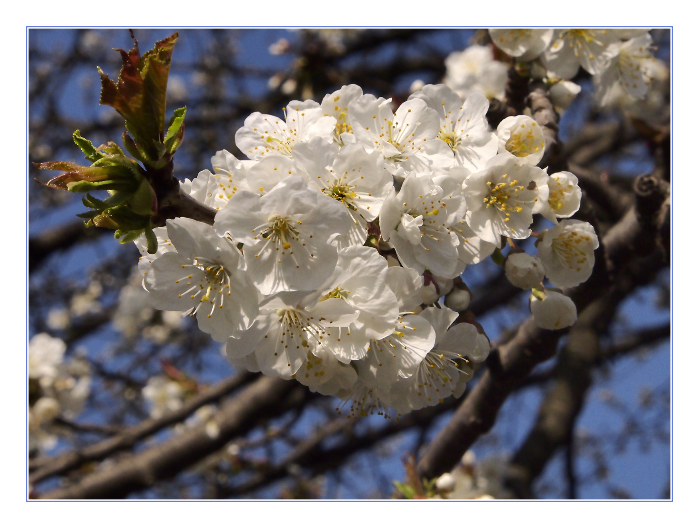 Marillenblüte im Prater