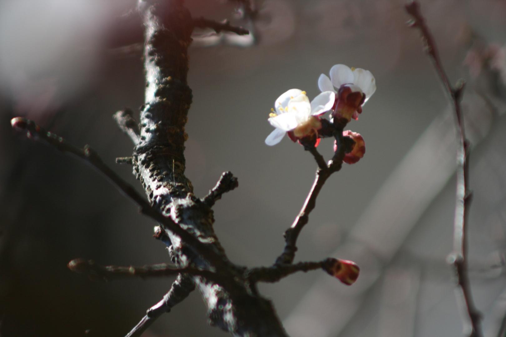 Marillenblüte in Partschins