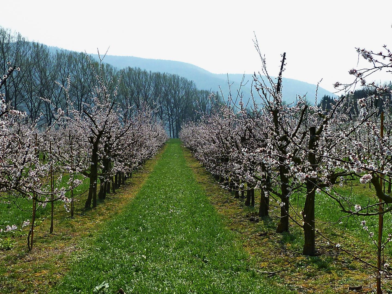 Marillenblüte Wachau 2