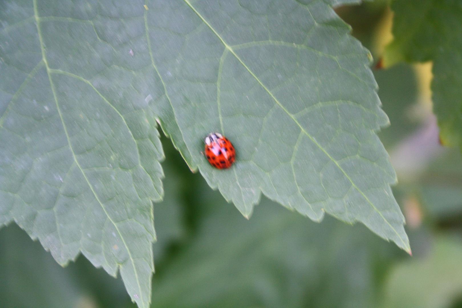 ´Marin Käfer auf Pflanze