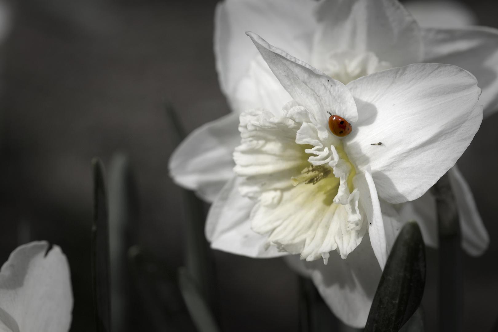 Marinekäfer auf der Blume