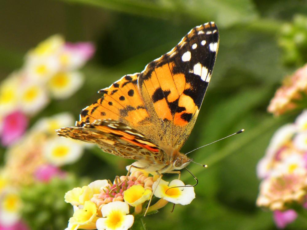 Mariposa comiendo.