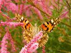Mariposa comiendo II
