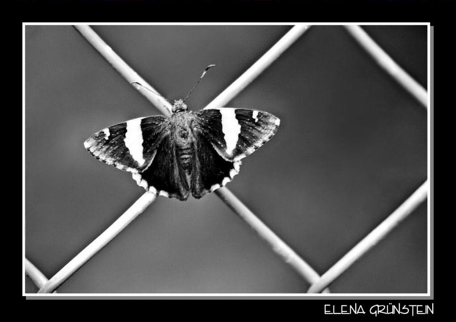 Mariposa con rombos