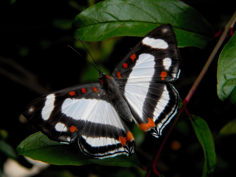 mariposa corazon blanco