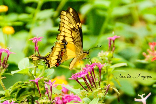 Mariposa de alas rotas:
