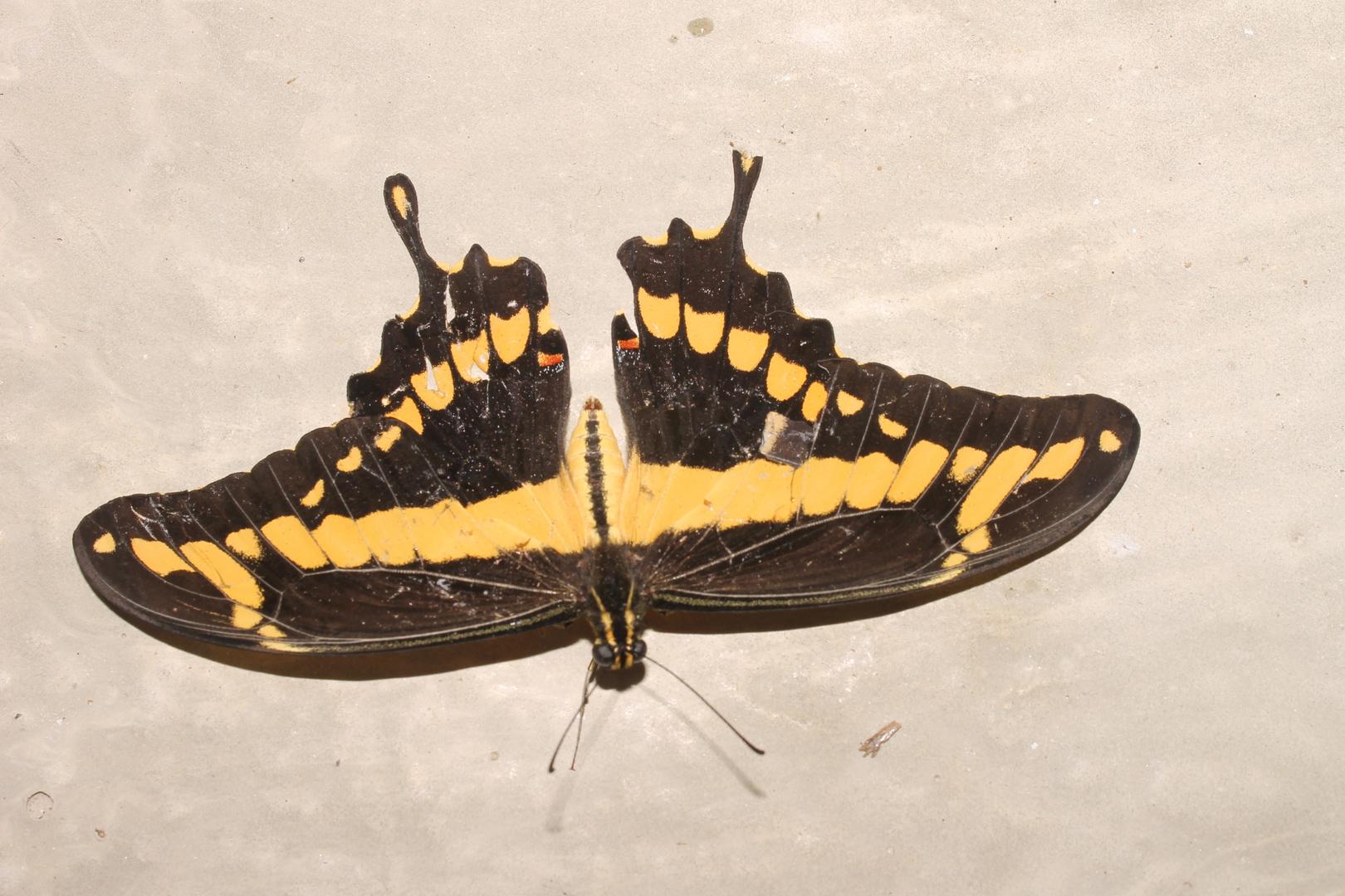 Mariposa de Monteria