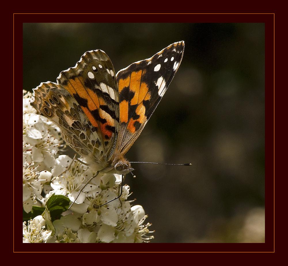 Mariposa en Espino