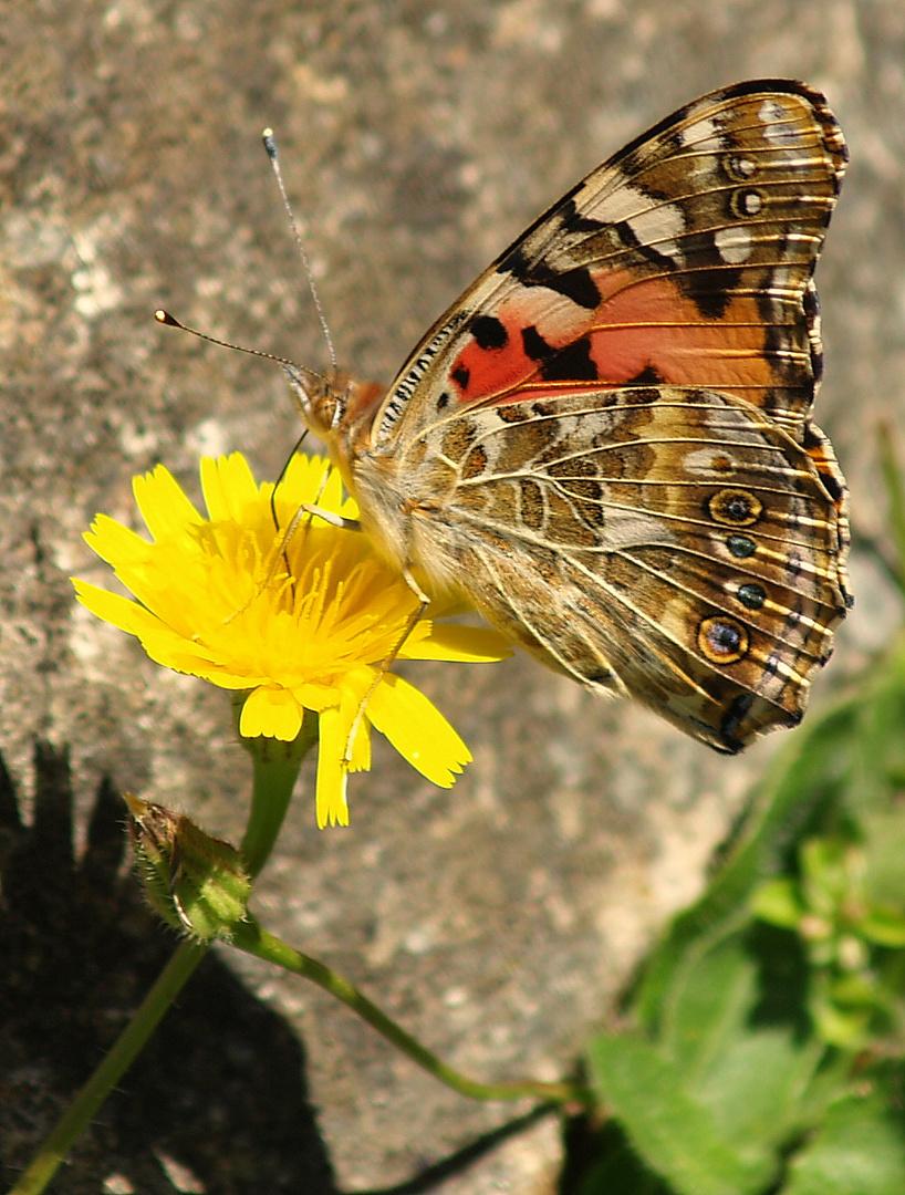 mariposa en flor