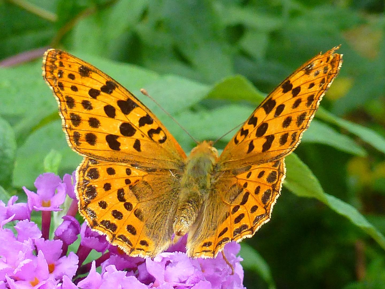 Mariposa gigante