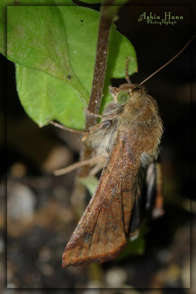 Mariposa Nocturna
