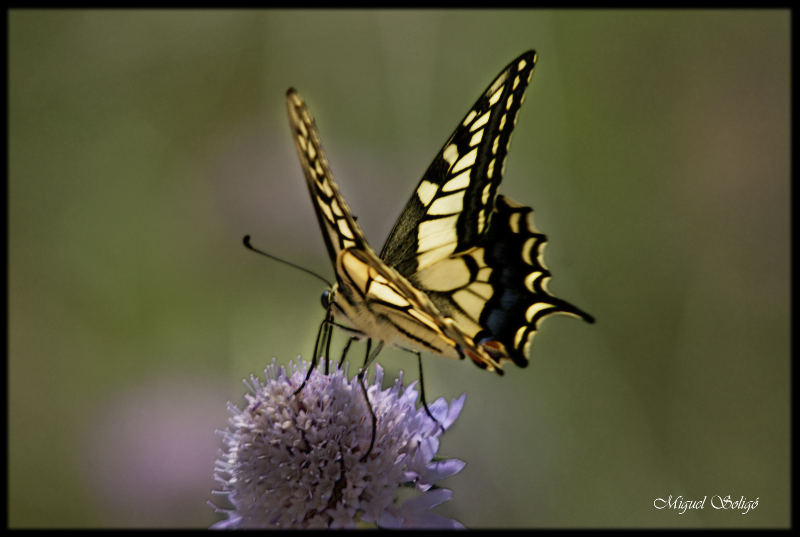 Mariposa (Papilio Machaon)