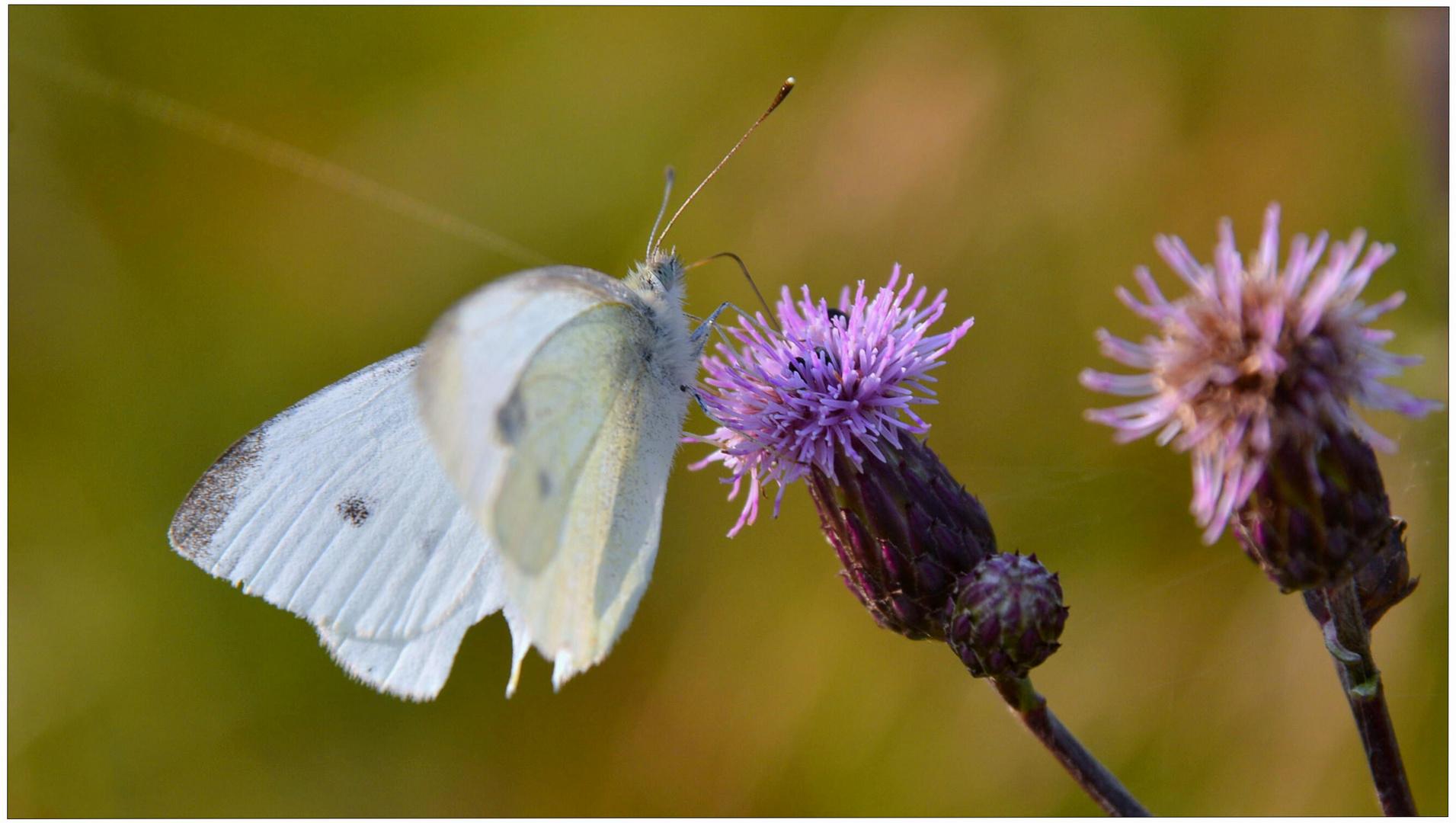mariposa (Schmetterling)