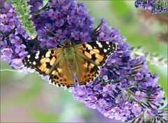 Mariposa sobre  una flor de flieder