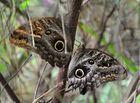 Mariposas búho