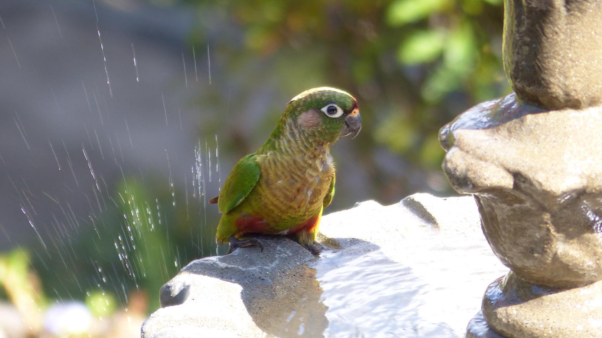 Maritacas beim Baden am Brunnen