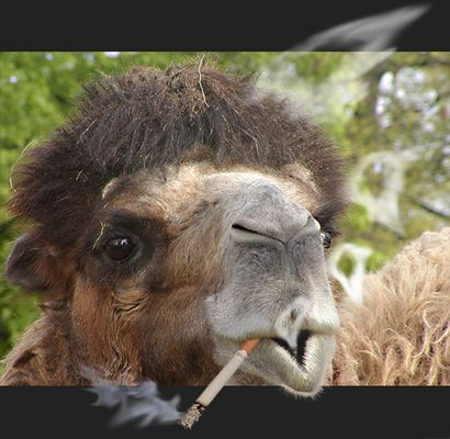 ## Marlboro Light´s smoked by Camel 2 ##