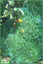 Marlin und Nemo