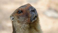 Marmota Bobak