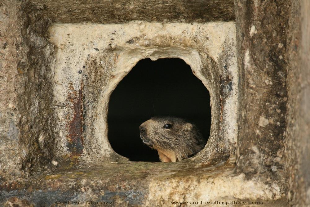 Marmotta di guardia al Moncenisio